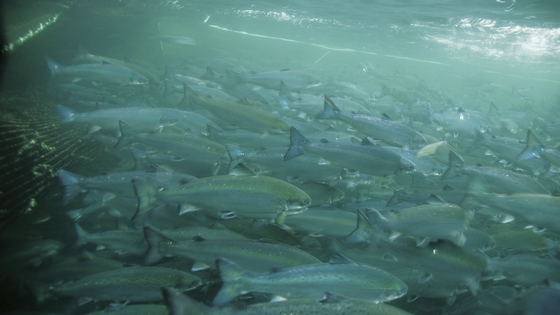 Seks elver genetisk påvirket av oppdrettslaks - (c) Havforskningsinstituttet