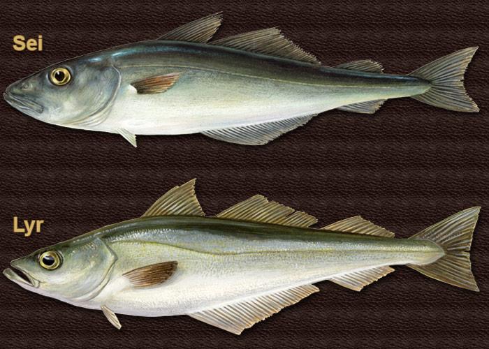 pale fisk