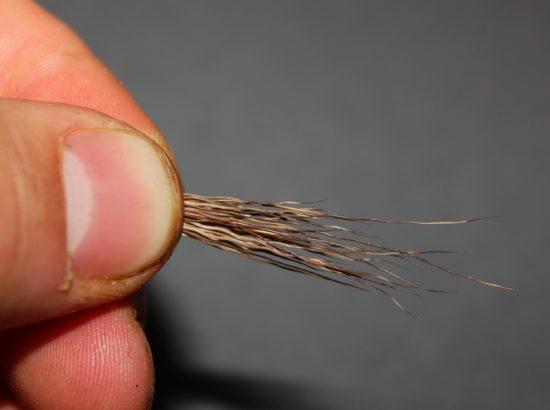 Legg hårene slik at du har en jevn bunt, og hårspissene er så og si jevne. Klipp av hårspissene. Foto: Lasse Bøe