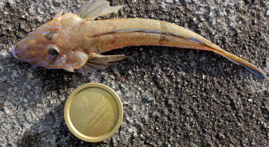 Fløyfisk på gode 30cm begynner å bli brukbart, men det mangler fremdeles endel på lengden og magen. Foto: Lasse Bøe