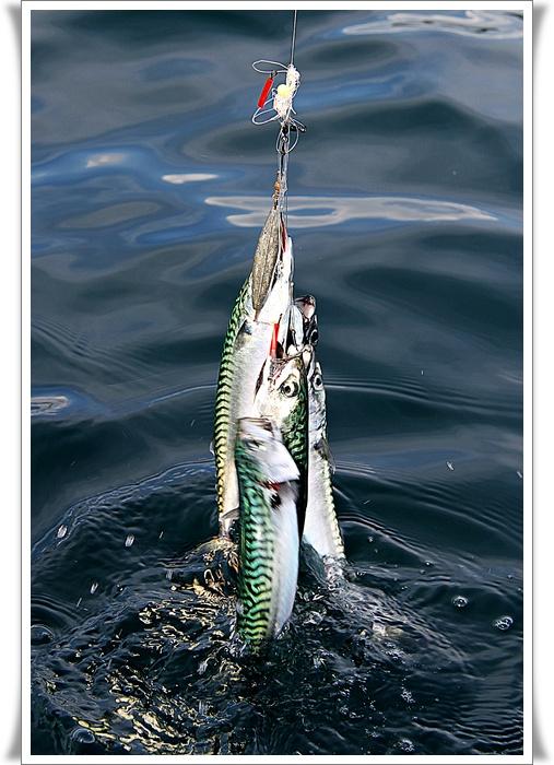 Fiske makrell i oslofjorden
