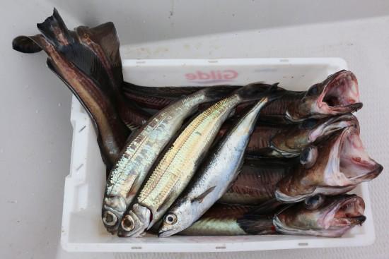 Artsfiske (1)