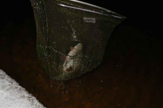 Feederfiske i Glomma (3)