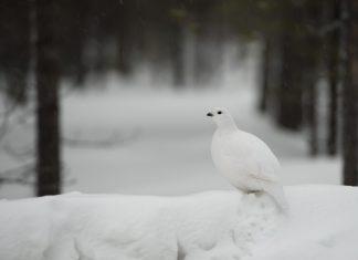 Nye jakttider 2017 2018 2019 2020 2021 2022 - Rype på snø