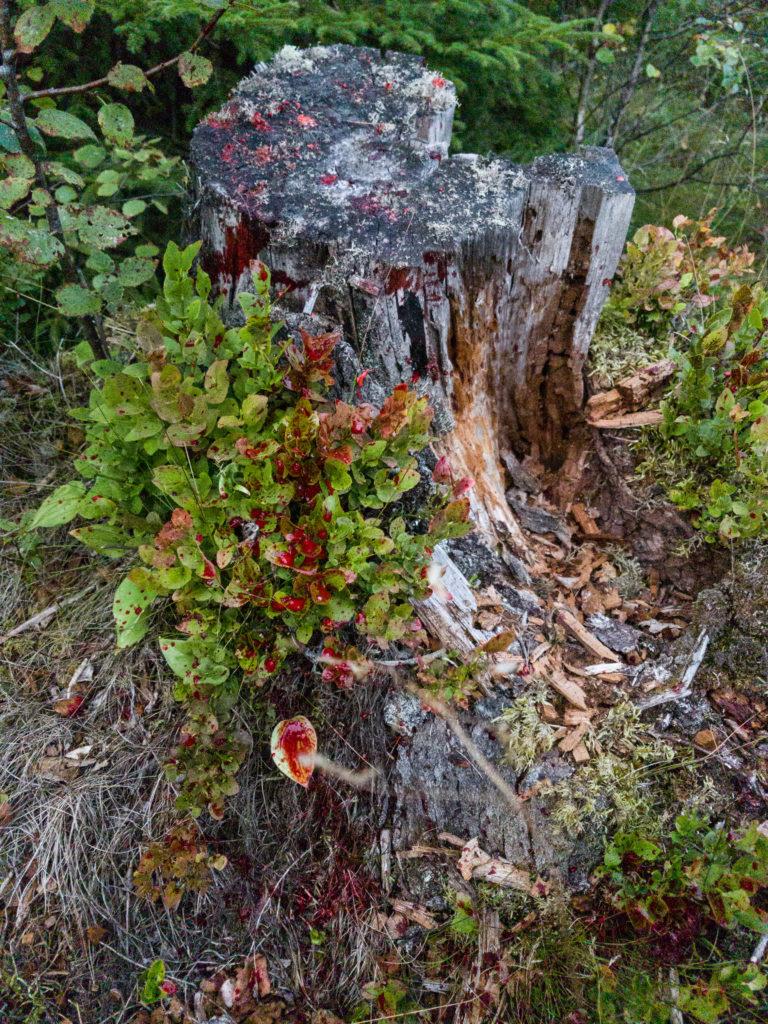 Bilde av blodspor fra bukken - Bukkejakta